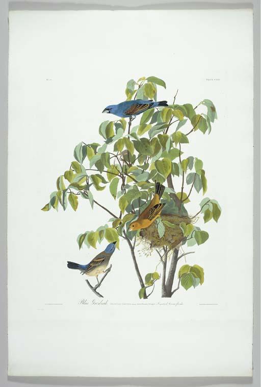 Blue Grosbeak (Plate CXXII) Gu