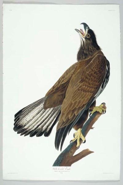 White-headed Eagle (Plate CXXV