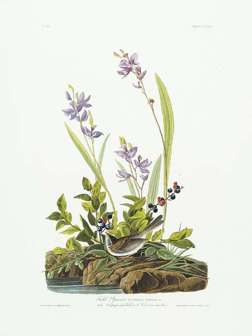 Field Sparrow (Plate CXXXIX) S