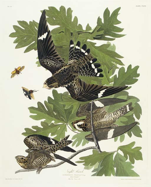 Night Hawk (Plate CXLVII) Comm
