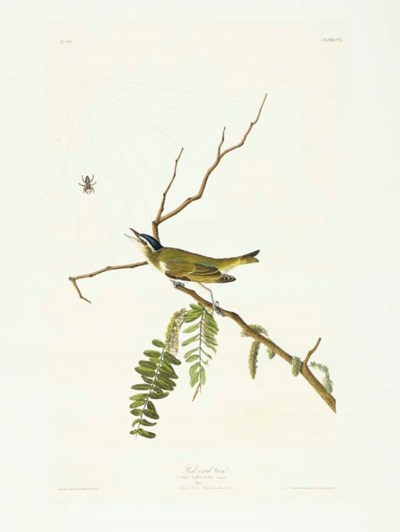 Red-eyed Vireo (Plate CL) Vire