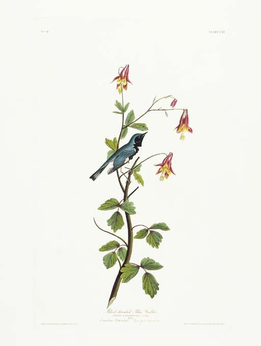 Black-throated Blue Warbler (P