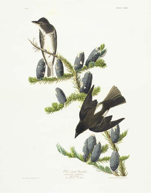 Olive sided Flycatcher (Plate