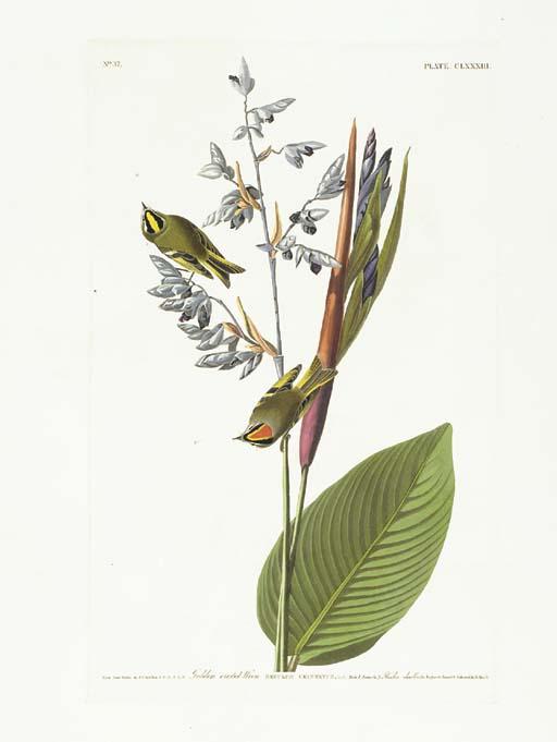Golden-crested-Wren (Plate CLX