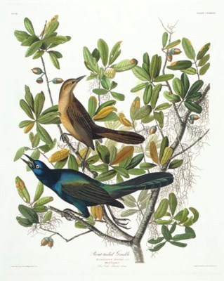 Boat-tailed Grackle (Plate CLX