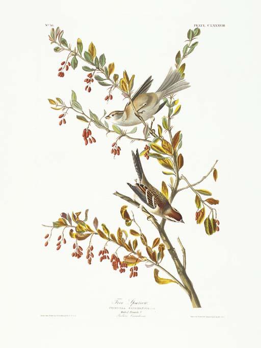 Tree Sparrow (Plate CLXXXVIII)