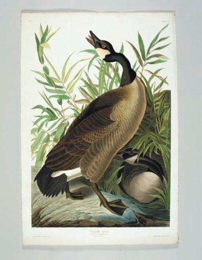 Canada Goose (Plate CCI) Brant