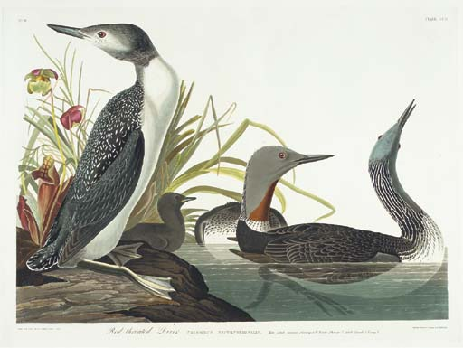 Red-throated Diver (Plate CCII