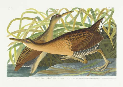 Fresh Water Marsh Hen (Plate C