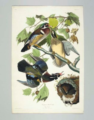 Summer or Wood Duck (Plate CCV