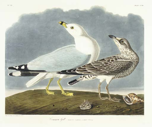 Common Gull (Plate CCXII) Ring