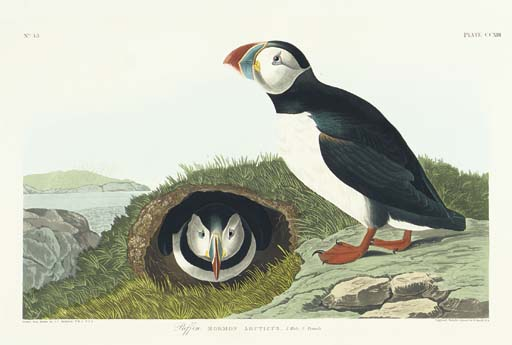 Puffin (Plate CCXIII) Atlantic