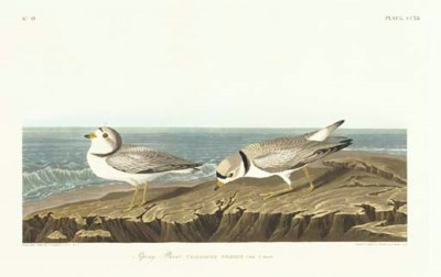 Piping Plover (Plate CCXX) Cha