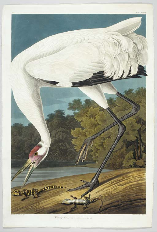 Hooping Crane (Plate CCXXVI) W