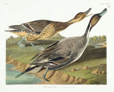 Pin tailed Duck (Plate CCXXVII
