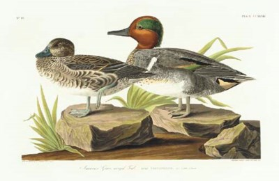 American Green winged Teal (Pl