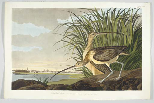 Long-billed Curlew... City of