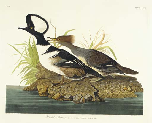 Hooded Merganser (Plate CCXXXI