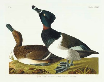 Tufted Duck (Plate CCXXXIV) Ri