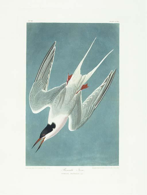 Roseate Tern (Plate CCXL) Ster