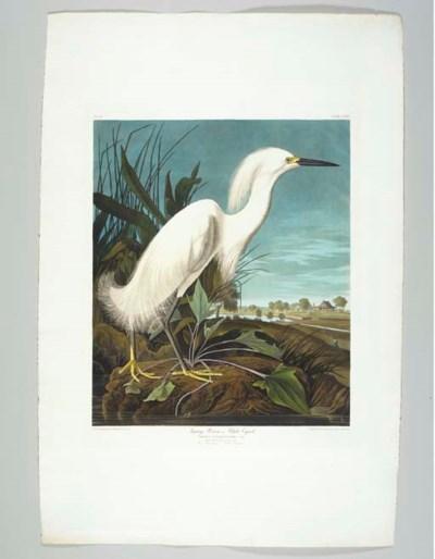 Snowy Heron, or White Egret (P
