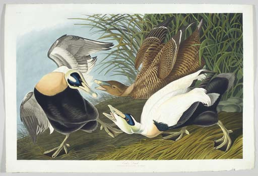 Eider Duck (Plate CCXLVI) Comm