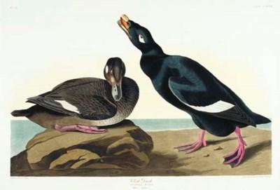 Velvet Duck (Plate CCLXVII) Wh