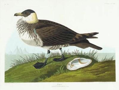 Jager (Plate CCLIII) Pomarine