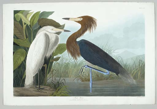 Purple Heron (Plate CCLVI) Red
