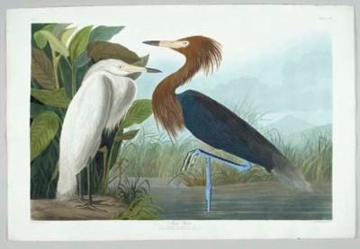 Purple Heron (Plate CCLVI) Red