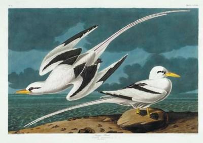 Tropic Bird (Plate CCLXII) Whi