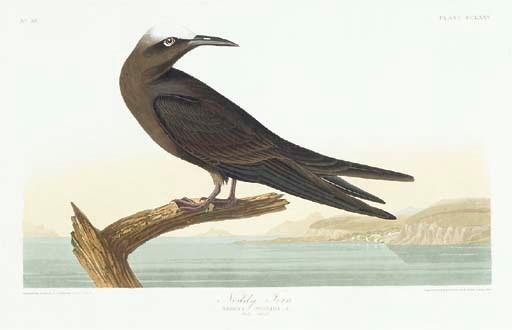 Noddy Tern (Plate CCLXXV) Brow