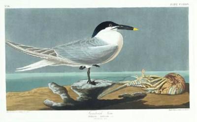 Sandwich Tern (Plate CCLXXIX)