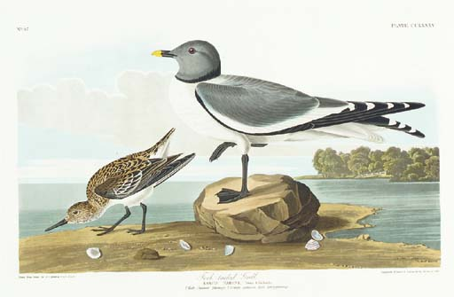 Fork-tailed Gull (Plate CCLXXX