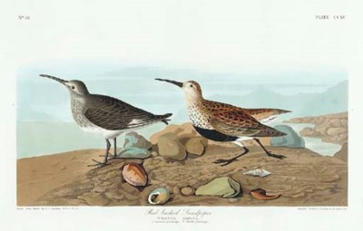 Red backed Sandpiper (Plate CC