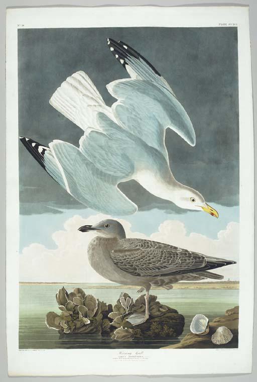 Herring Gull... Raccoon Oyster