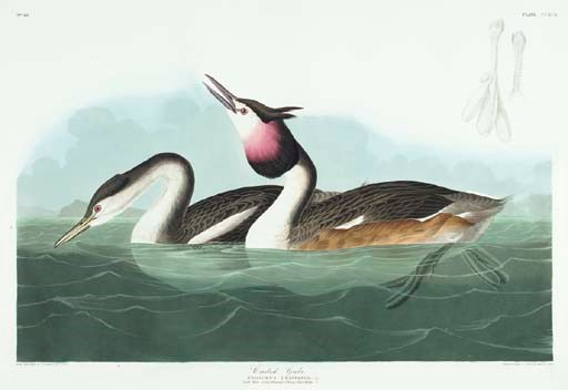 Crested Grebe (Plate CCXCII) G