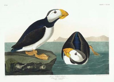 Large billed Puffin (Plate CCX