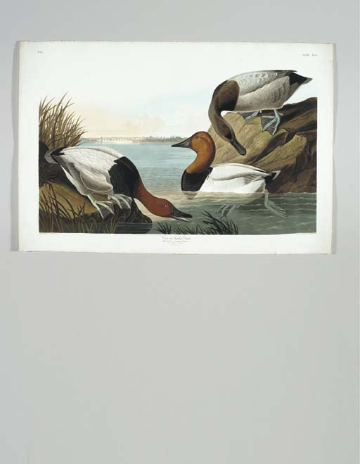 Canvas backed Duck... View of