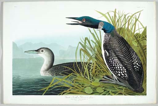 Great Northern Diver or Loon (
