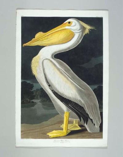 American White Pelican (Plate
