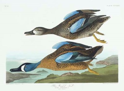 Blue-Winged Teal (Plate CCCXII