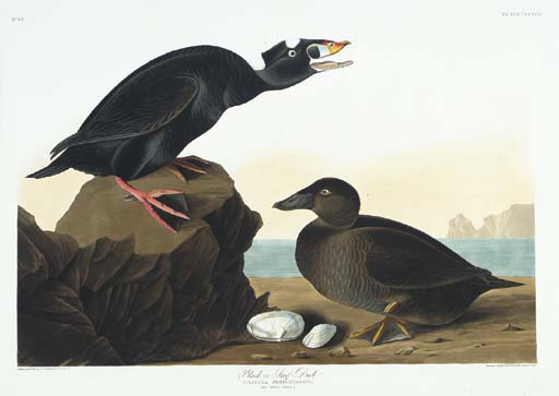 Black, or Surf Duck (Plate CCC
