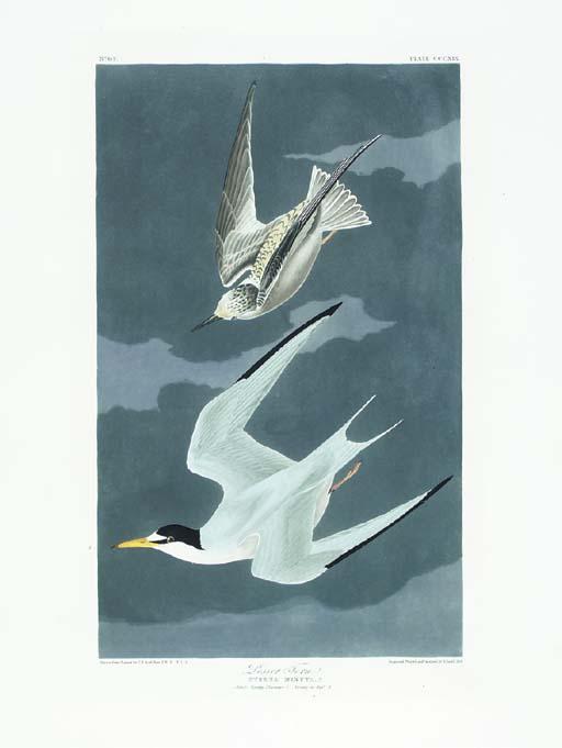 Lesser Tern (Plate CCCXIX) Lea