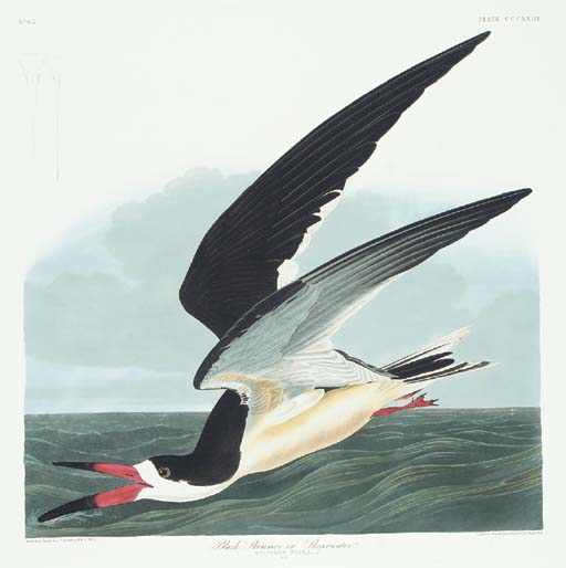 Black Skimmer or Shearwater (P