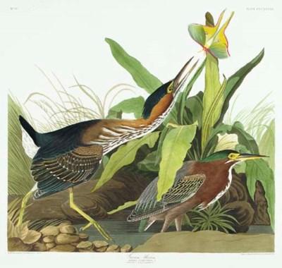 Green Heron (Plate CCCXXXIII)