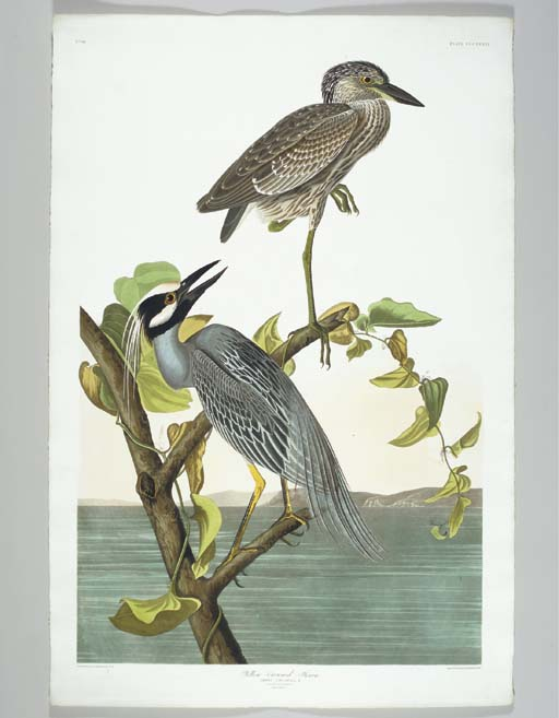 Yellow-Crowned Heron (Plate CC