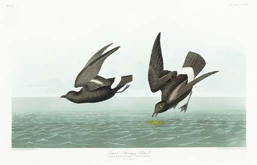 Least Stormy-Petrel (Plate CCC