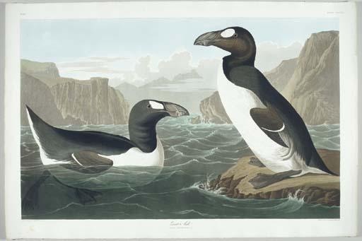 Great Auk (Plate CCCXLI) Pingu
