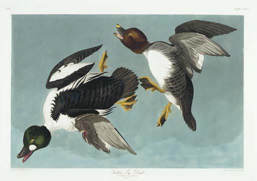 Golden-Eye Duck (Plate CCCXLII
